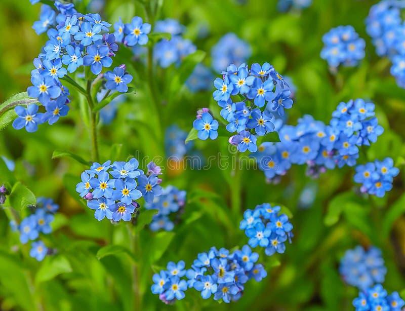 Flores azuis da mola fotos de stock royalty free