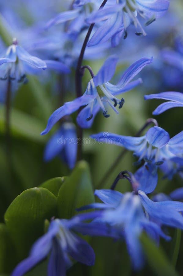 Flores azuis da mola do squill Siberian, squill de madeira foto de stock