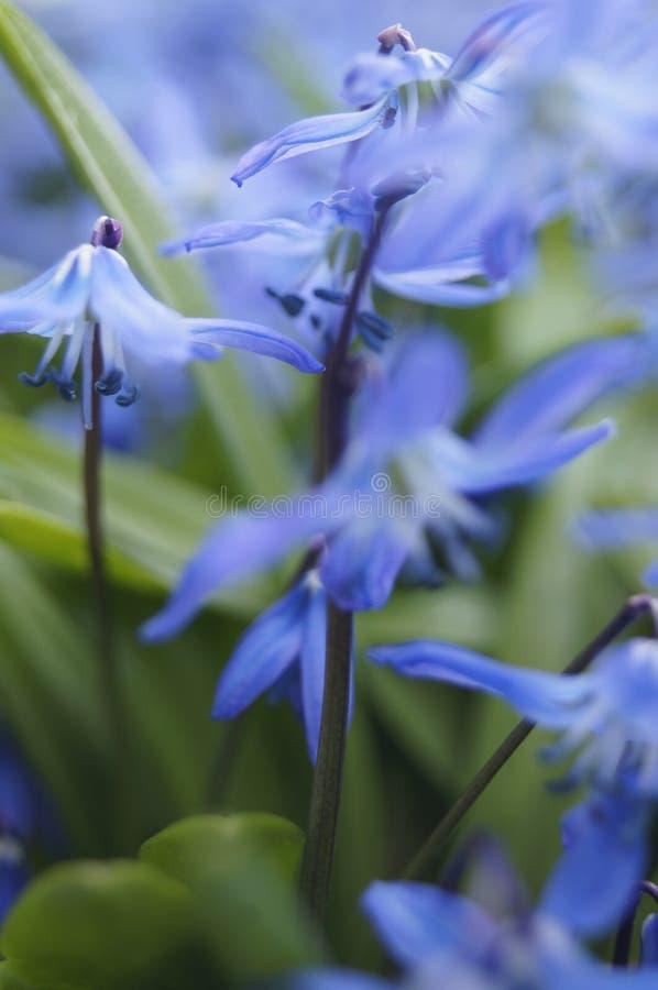 Flores azuis da mola do squill Siberian, squill de madeira fotos de stock