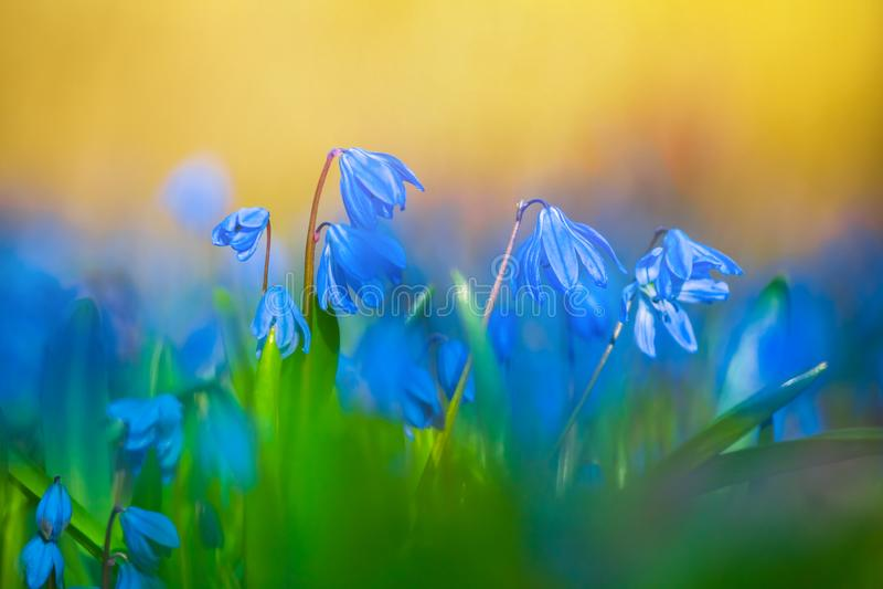 Flores azuis da mola em uma floresta fotos de stock