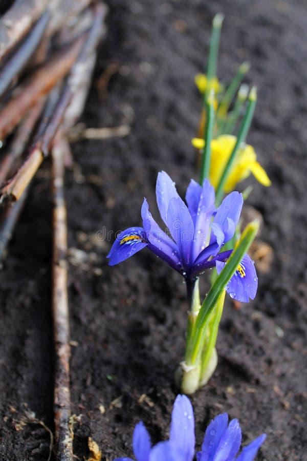 Flores azuis da mola, orvalho, jardim foto de stock royalty free