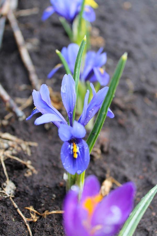 Flores azuis da mola, orvalho, jardim fotos de stock