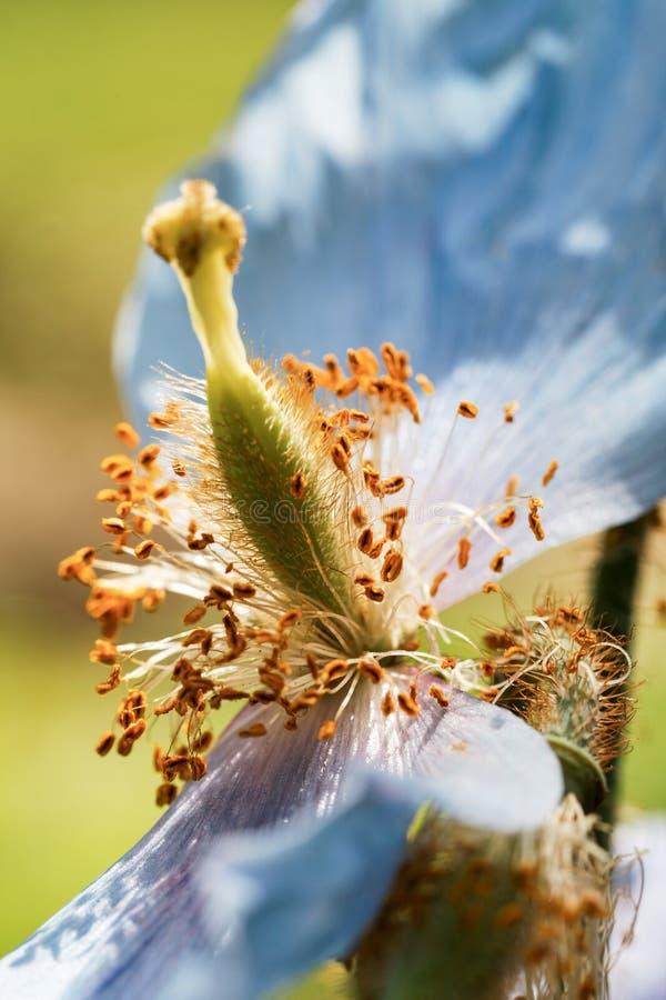 Flores azuis da papoila azul Himalaia de Tibet imagem de stock royalty free