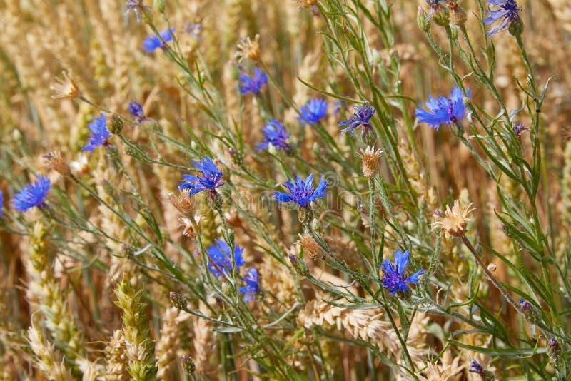 Flores azuis das centáureas entre as orelhas maduras douradas do trigo imagem de stock