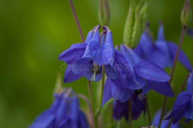 Flores azuis de Aquilegia Macro Fundo floral fotografia de stock