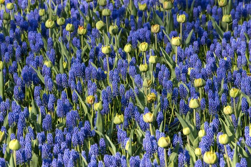 Flores azuis de Hyacinthus, apenas erady para florescer fotografia de stock royalty free