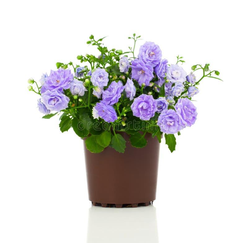 Flores azuis de terry da campânula imagem de stock