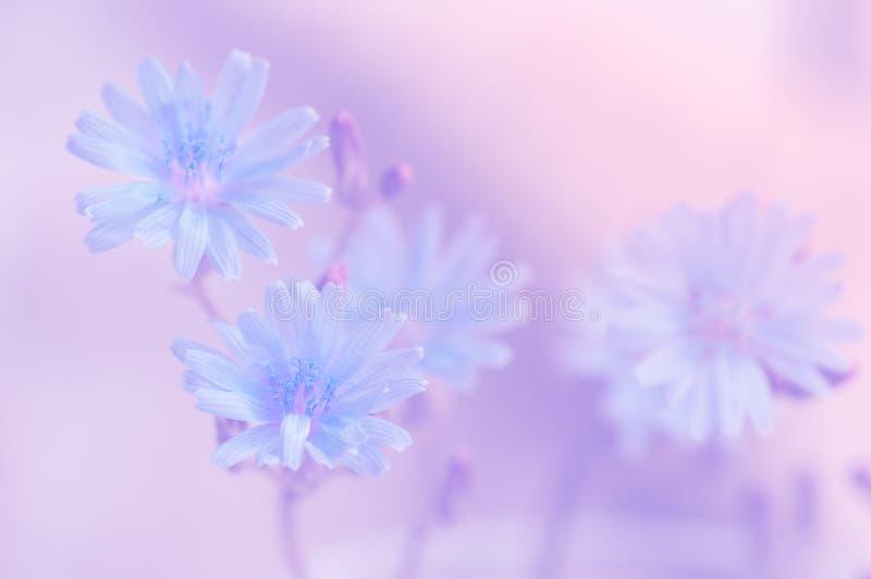 Flores azuis delicadas em um fundo cor-de-rosa A imagem artística macia do verão floresce no ar livre fotografia de stock royalty free
