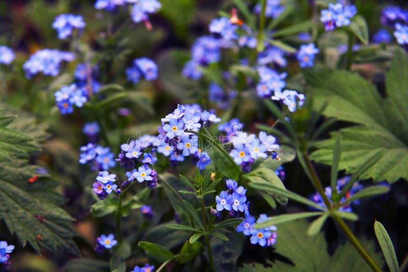 Flores azuis delicadas entre a grama Miosótis plantas Mola e verão fotografia de stock