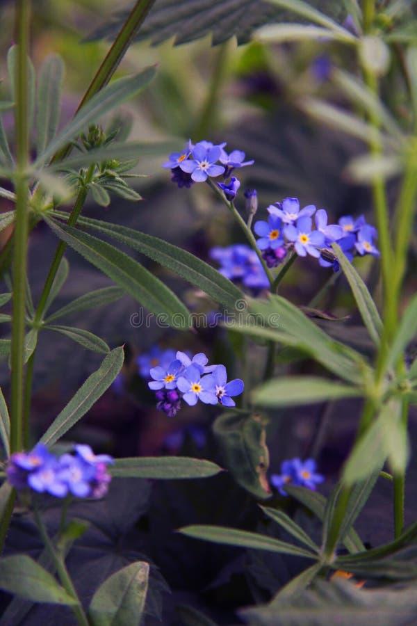 Flores azuis delicadas entre a grama Miosótis plantas Mola e verão fotos de stock