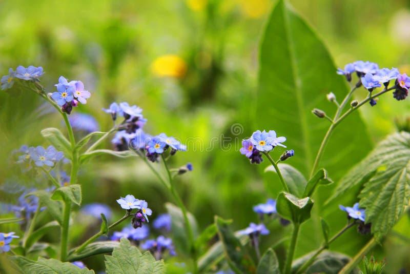 Flores azuis delicadas entre a grama Miosótis plantas Mola e verão imagens de stock
