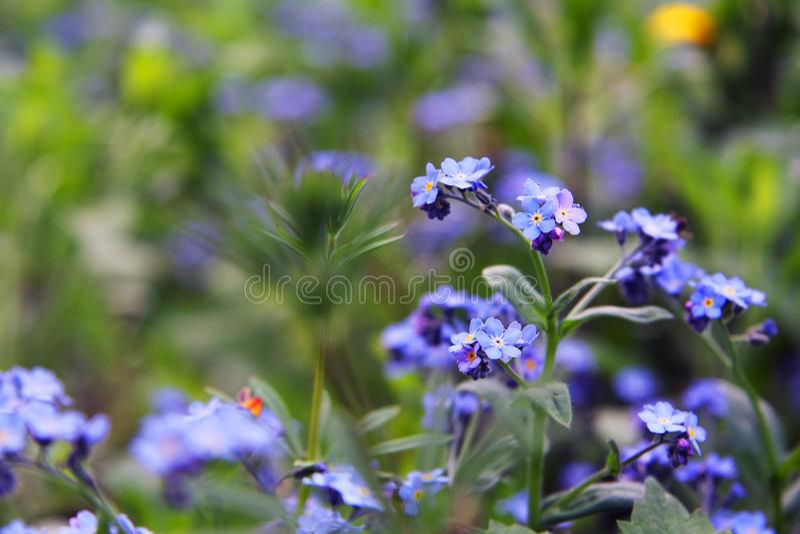 Flores azuis delicadas entre a grama Miosótis plantas Mola e verão foto de stock