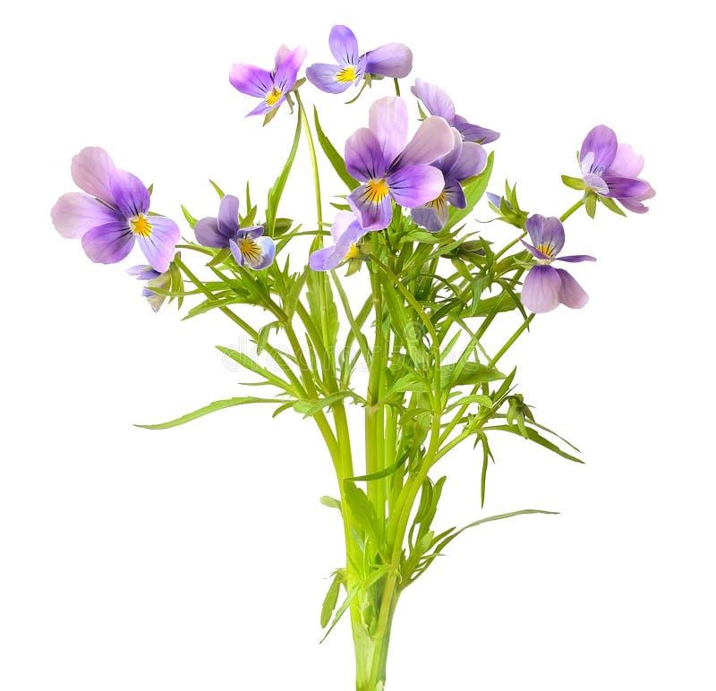 Flores azuis do amor perfeito imagens de stock royalty free