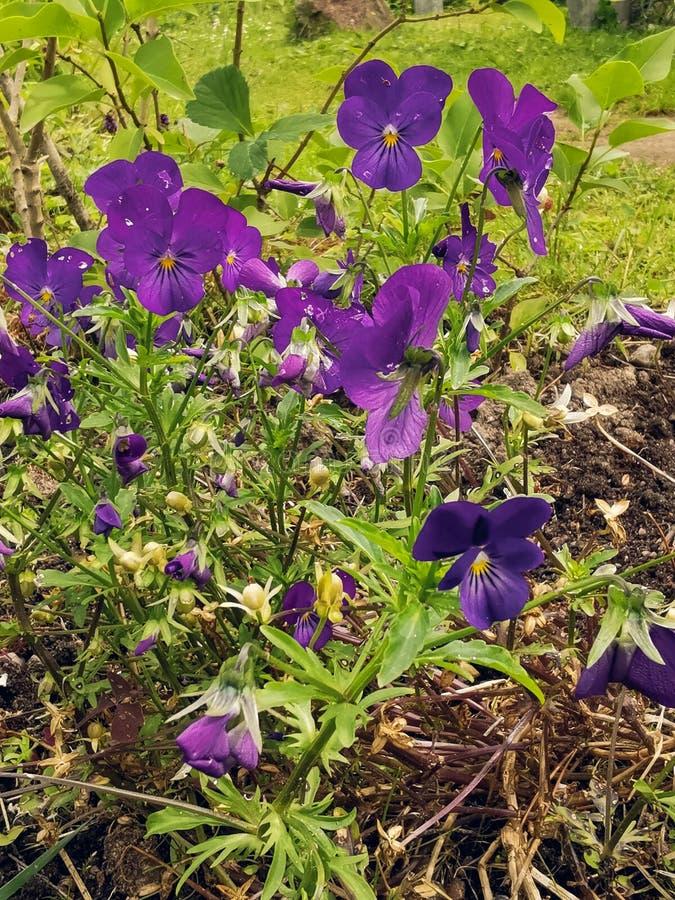 Flores azuis do amor perfeito do wittrockiana da viola com verde foto de stock