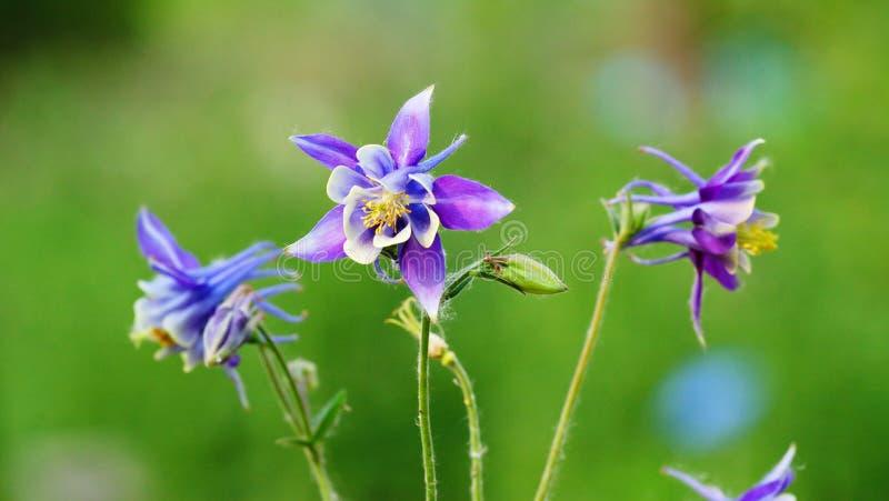 Flores azuis do aquilegia fotografia de stock royalty free