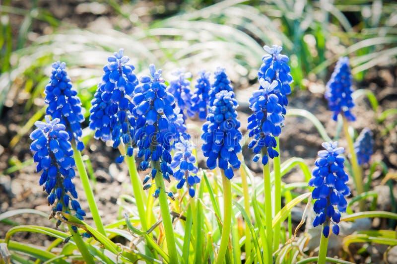 Flores azuis do armeniacum do muscari fotos de stock