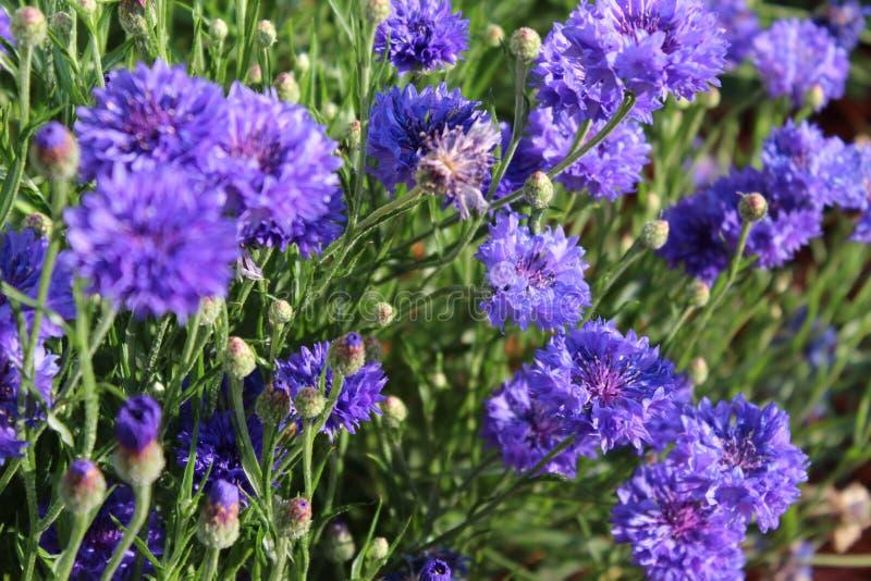 Flores azuis do botão do licenciado imagens de stock royalty free