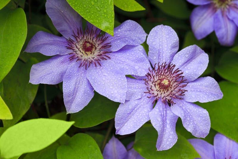 Flores azuis do clematis fotografia de stock