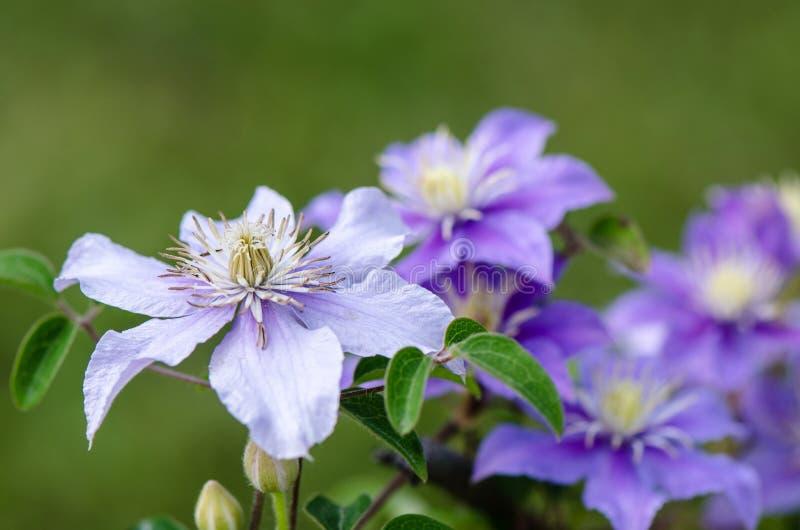 Flores azuis do clematis imagens de stock