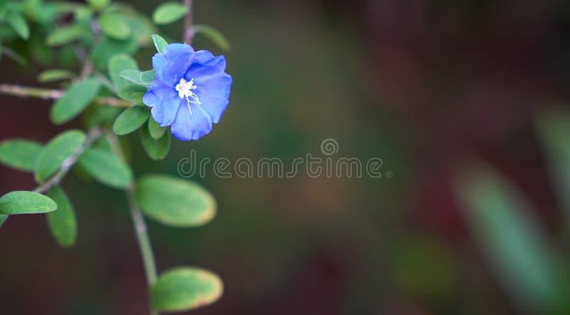 Flores azuis do diamante com espa?o da c?pia imagem de stock royalty free