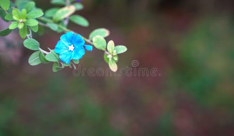Flores azuis do diamante com espa?o da c?pia fotografia de stock