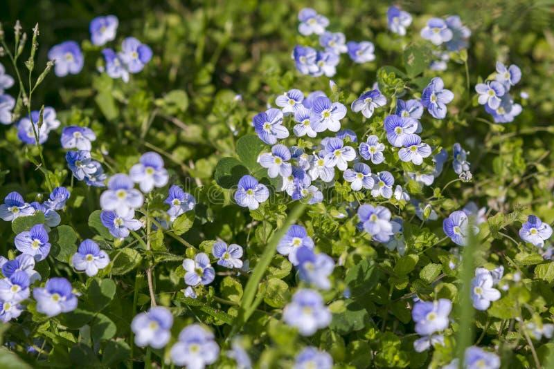 Flores azuis do linho fotos de stock royalty free