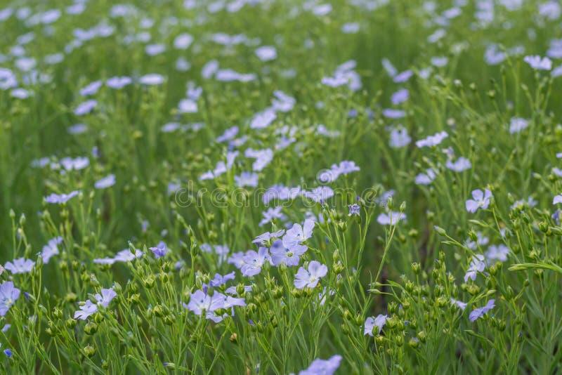 Flores azuis do linho em um prado fotos de stock royalty free