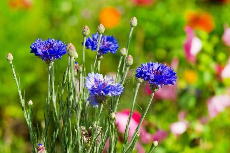 Flores azuis do milho fotografia de stock
