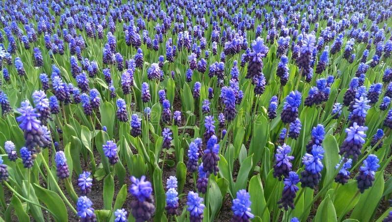 Flores azuis do muscari fotografia de stock royalty free