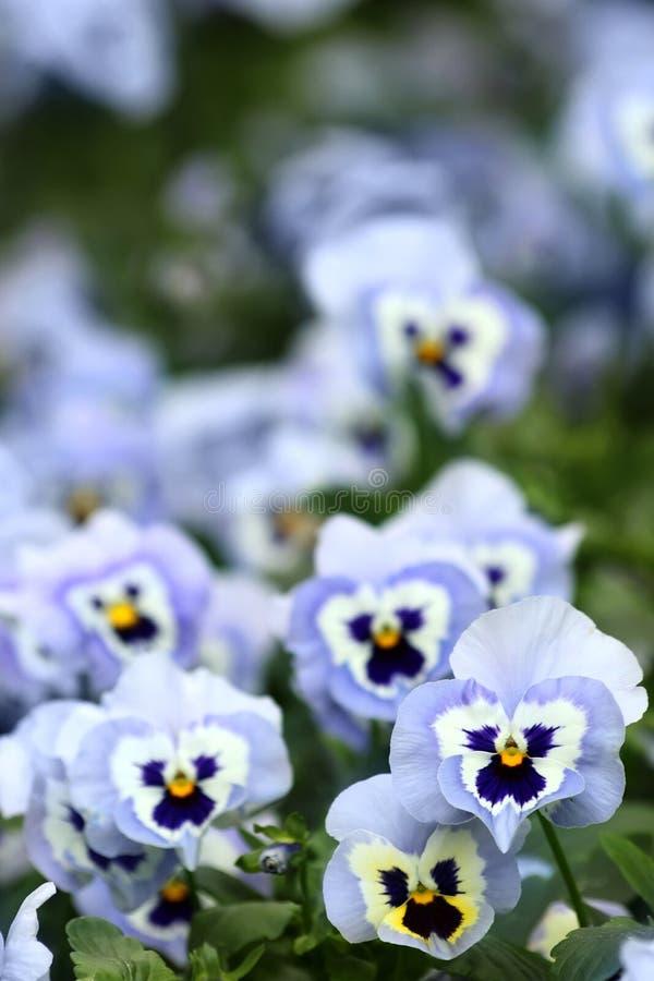Flores azuis do pansy foto de stock