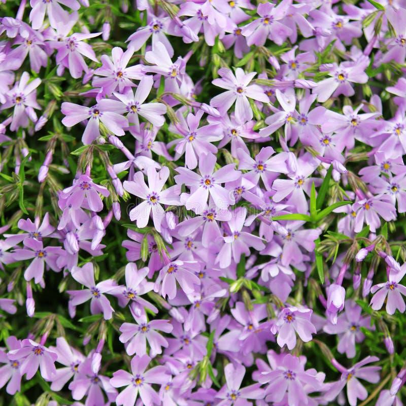 Flores azuis do subulata do flox fotos de stock royalty free