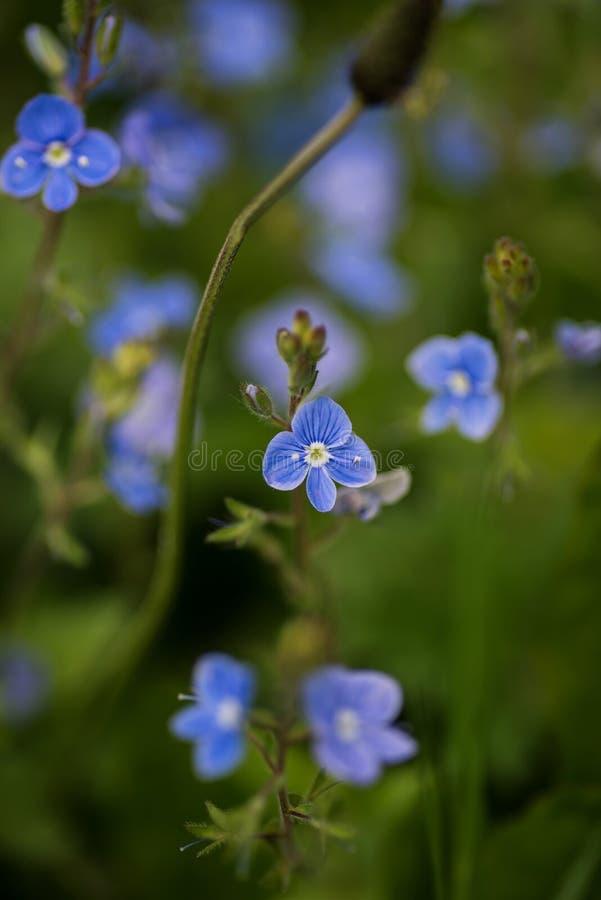 Flores azuis do Veronica em um campo fotografia de stock royalty free