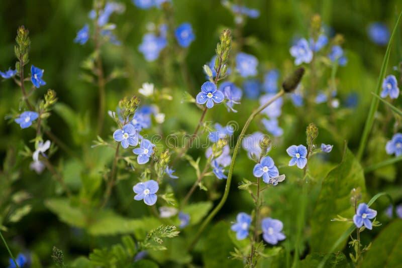 Flores azuis do Veronica em um campo imagem de stock royalty free