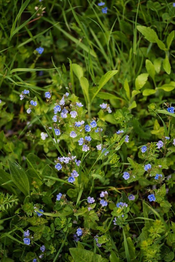 Flores azuis do Veronica em um campo fotos de stock