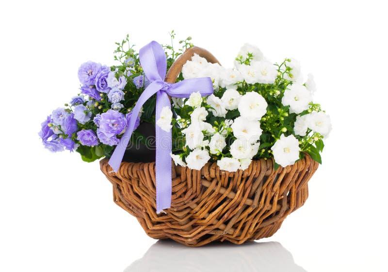 Flores azuis e brancas de terry da campânula imagens de stock royalty free