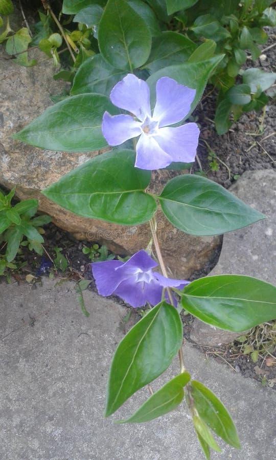 Flores azuis em pedras de um concreate imagens de stock royalty free
