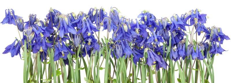 Flores azuis isoladas da mola foto de stock royalty free