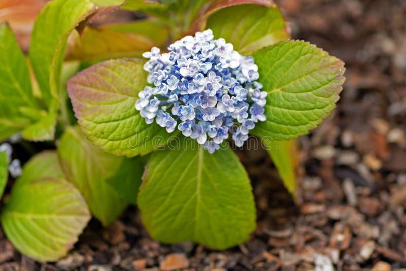 Flores azuis no fim do jardim acima imagens de stock