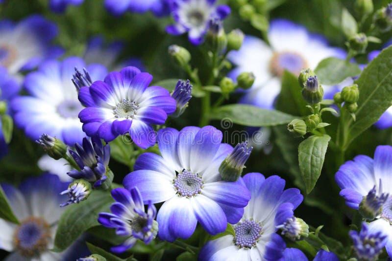 Flores azuis no jardim 2 da casa fotos de stock royalty free