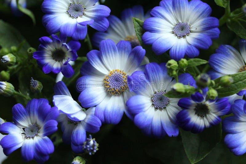 Flores azuis no jardim 3 da casa fotografia de stock
