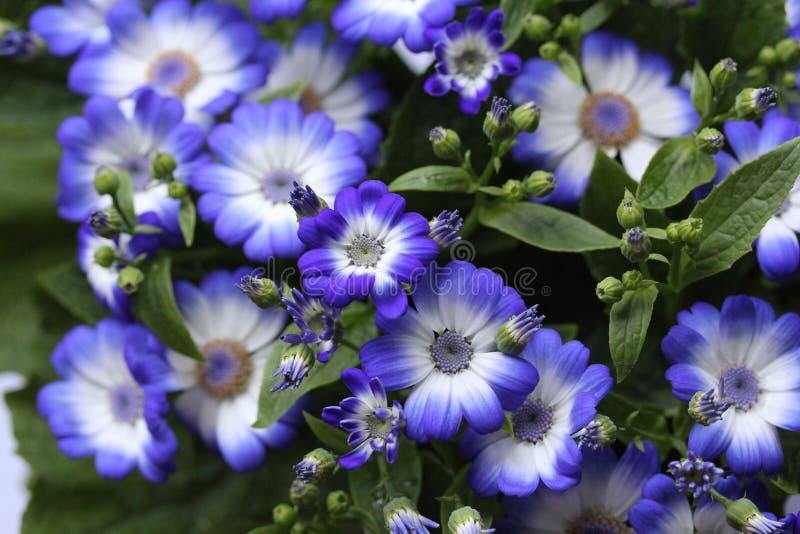 Flores azuis no jardim 4 da casa foto de stock royalty free