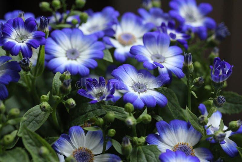 Flores azuis no jardim 5 da casa fotografia de stock royalty free