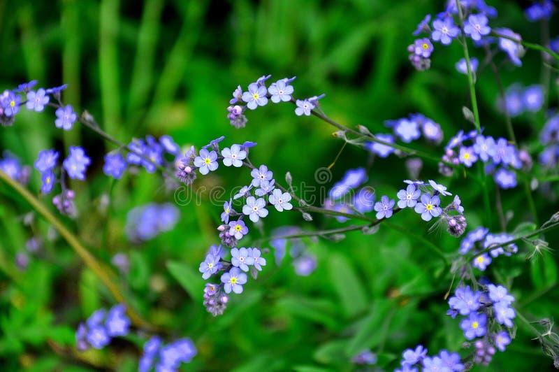 Flores azuis pequenas do miosótis na grama verde Wildflowers de surpresa da mola fotos de stock