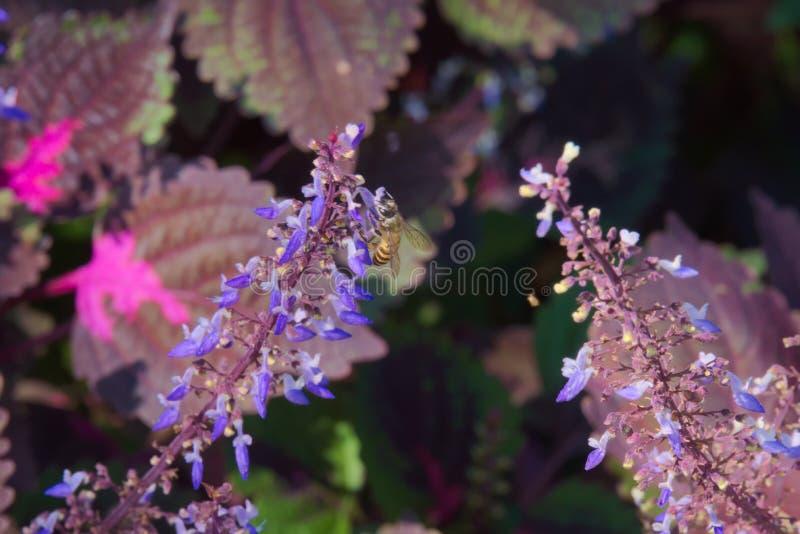 Flores azuis que levantam-se de aturdir as folhas de Borgonha e de rosa imagem de stock royalty free