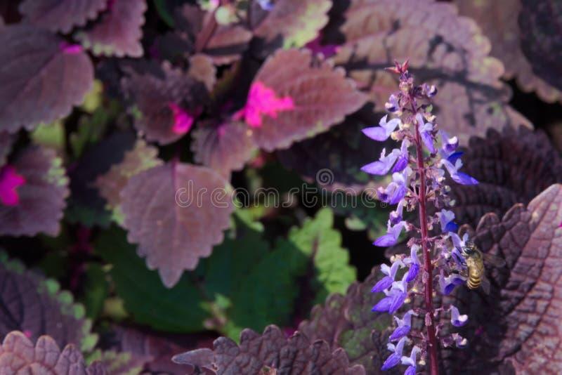 Flores azuis que levantam-se de aturdir as folhas de Borgonha e de rosa fotografia de stock