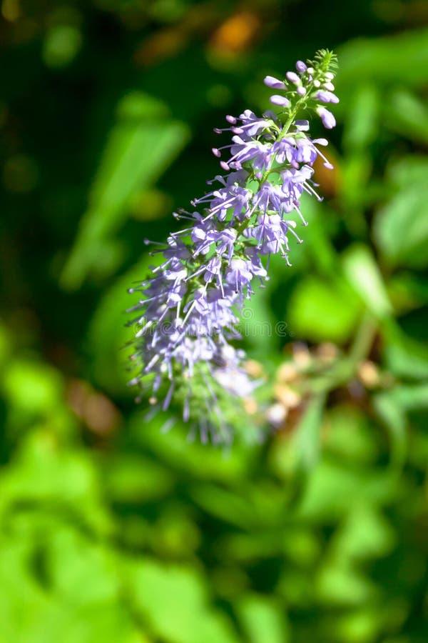 Flores azuis roxas do prado do longifolia do Veronica ou da verônica do longleaf na floresta no fundo verde da natureza foto de stock royalty free