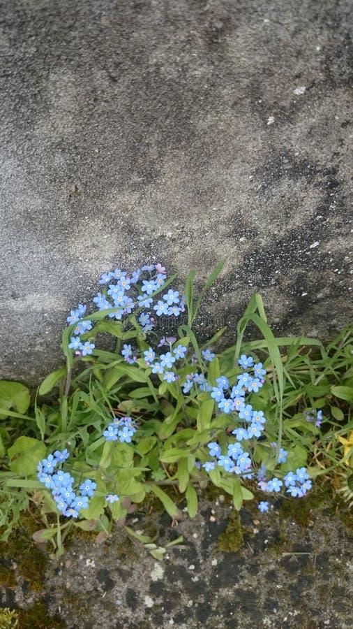 Flores azuis sós perto da parede imagem de stock