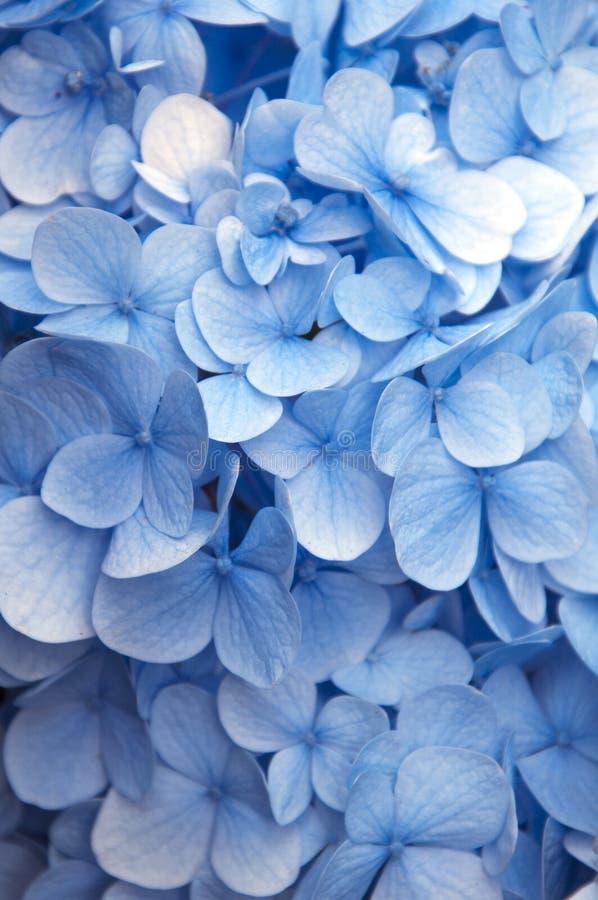 Flores azuis vibrantes fotografia de stock