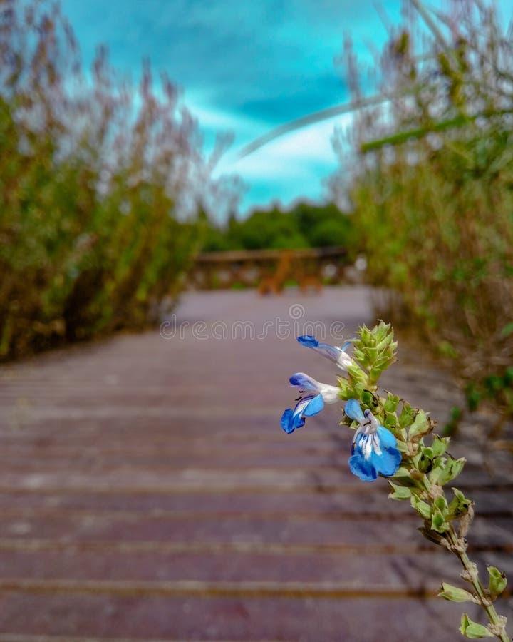 Flores azules fotografía de archivo