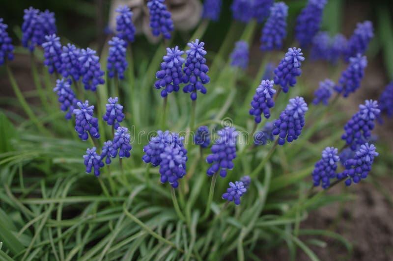 Flores azules imagen de archivo libre de regalías